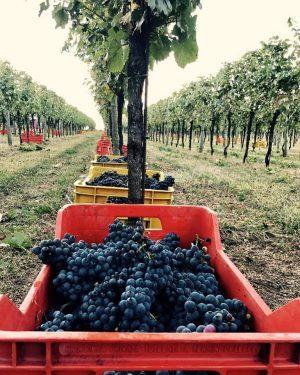 2017年 フランチャコルタでぶどう収穫が始まりました!